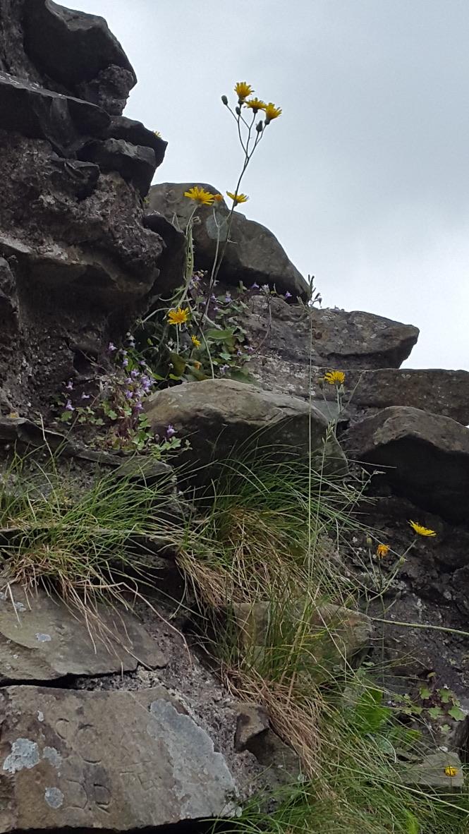 Weeds Kendal Castle 1 Dropbox